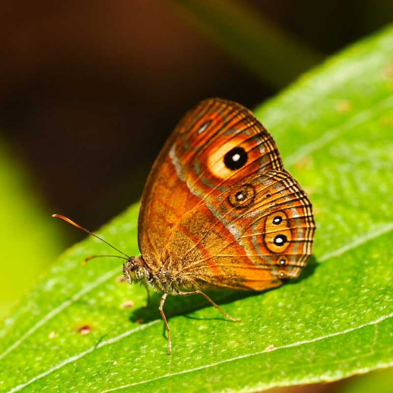 Colorful butterflies in the Sinharaja forest