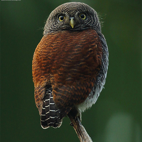 Chestnut Backed Owlet