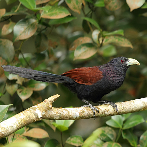 Green Billed Coucal