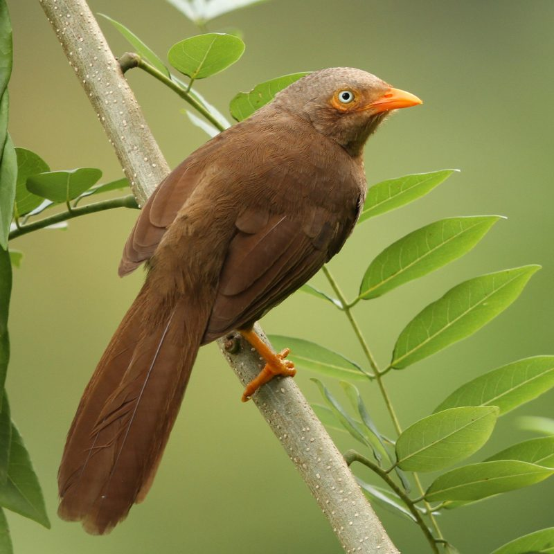Sri Lanka Orange-billed Babber (Turdoides rufescens) Endemic
