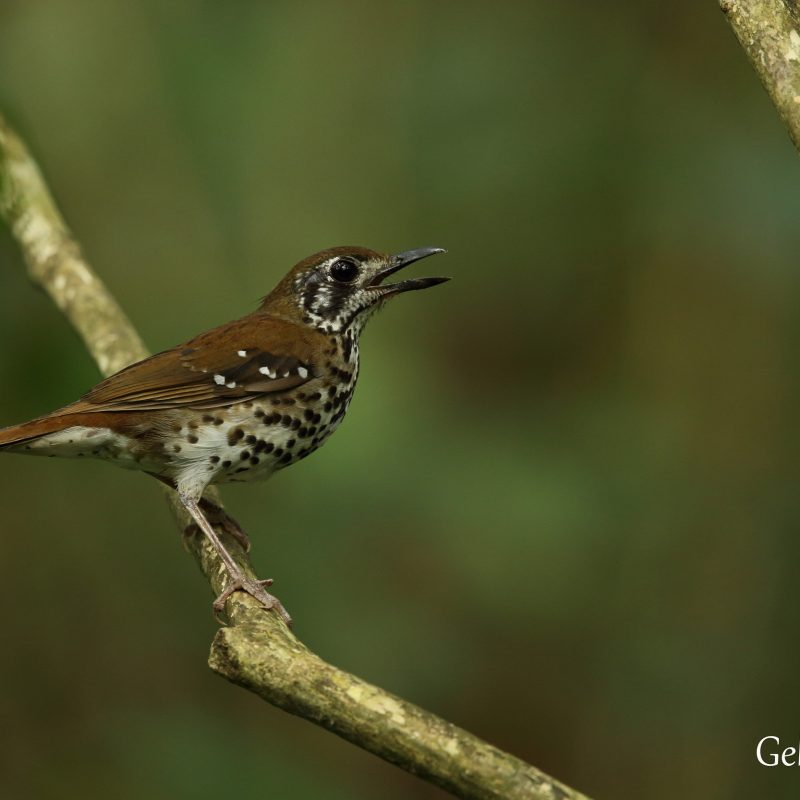 Spotted-winged Thrush (Turdus Spiloptera) Endemic