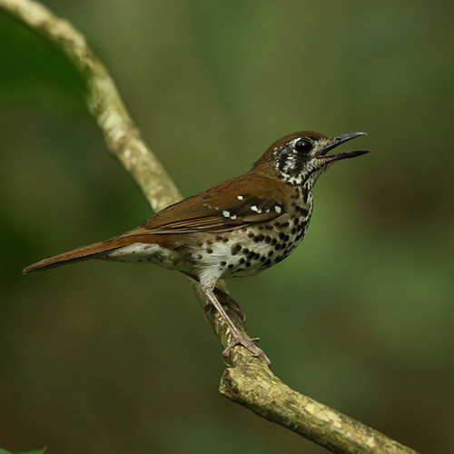 Spotted-winged Thrush