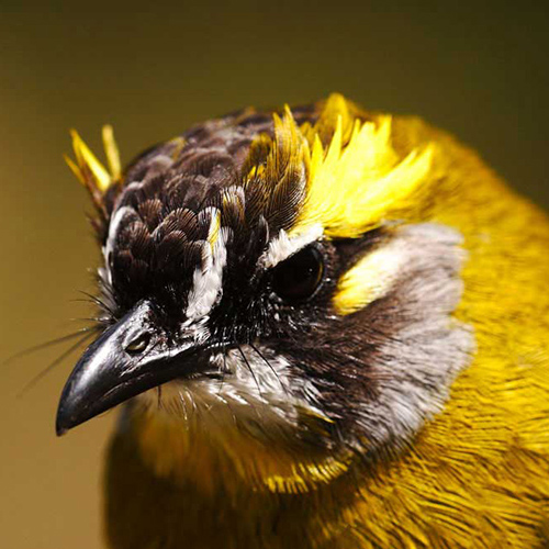 Yellow-eared Bulbul sighting in the SInharaja forest