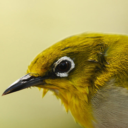 Sri Lanka White-eye sighting in the Sinharaja forest