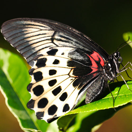 Common Mormon sighting in the Sinharaja forest