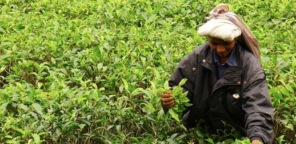 Workers gathering tea leaves