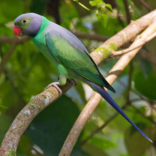 Layard's Parakeet sighting in the Sinharaja forest