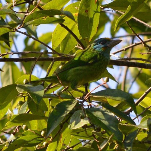 Yellow- fronted Barbet in the SInharaja forest