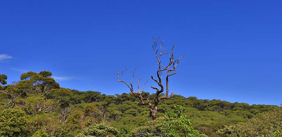 Leafless tree in the forest